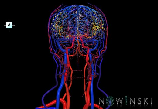 G4.T15.2-16.1.-17.2-18.2.V1.C2.L0.Intracranial arteries–Intracranial venous system–Extracranial arteries–Extracranial veins