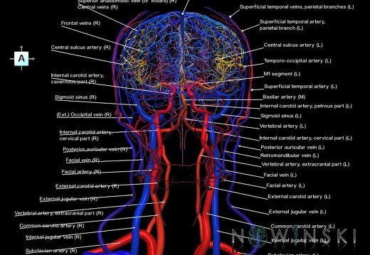 G4.T15.2-16.1.-17.2-18.2.V1.C2.L1.Intracranial arteries–Intracranial venous system–Extracranial arteries–Extracranial veins