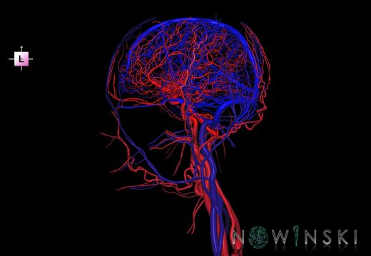 G4.T15.2-16.1.-17.2-18.2.V2.C1.L0.Intracranial arteries–Intracranial venous system–Extracranial arteries–Extracranial veins