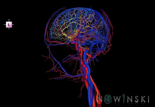 G4.T15.2-16.1.-17.2-18.2.V2.C2.L0.Intracranial arteries–Intracranial venous system–Extracranial arteries–Extracranial veins
