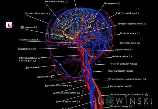 G4.T15.2-16.1.-17.2-18.2.V2.C2.L1.Intracranial arteries–Intracranial venous system–Extracranial arteries–Extracranial veins