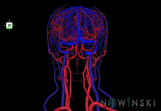 G4.T15.2-16.1.-17.2-18.2.V3.C1.L0.Intracranial arteries–Intracranial venous system–Extracranial arteries–Extracranial veins