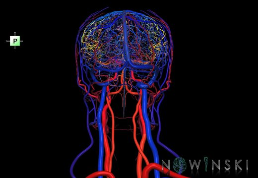 G4.T15.2-16.1.-17.2-18.2.V3.C2.L0.Intracranial arteries–Intracranial venous system–Extracranial arteries–Extracranial veins